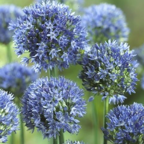 allium His Excellany