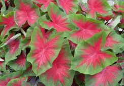 Caladium Freida Hemple