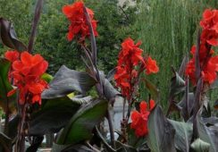 Canna Black Knight