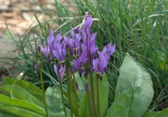 Dodecatheon Media