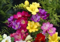 10 Free Freesias Single