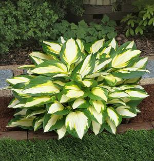 Hosta Colour Festival