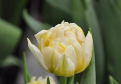 Tulip Flaming Evita