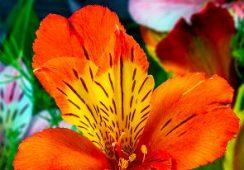 Alstroemeria Orange King