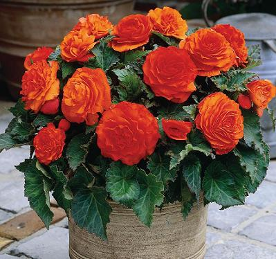 Begonia Non Stop Orange