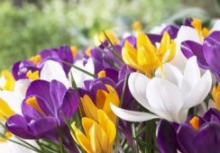 Crocus Large Flowering Mix