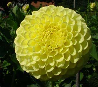 Dahlia Golden Torch