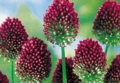 15 Free Allium Sphaerocephalon