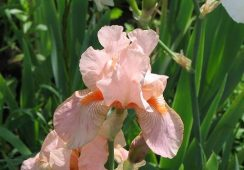Iris Germanica, Party Dress