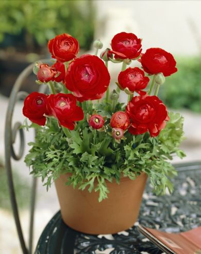 Ranunculus Asiaticus Red