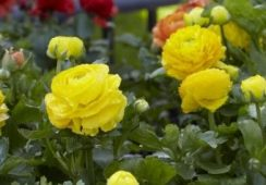 Ranunculus Asiaticus Yellow