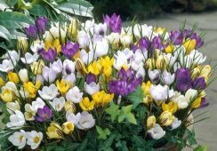 Species Crocus Mix