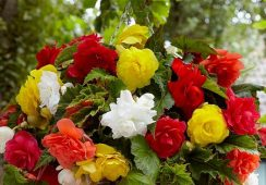 Begonia Cascade Mix, 4 Colours