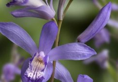 Bletilla Striata Blue