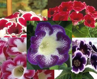 Gloxinia Bulbs