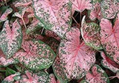 Caladium Pink Beauty
